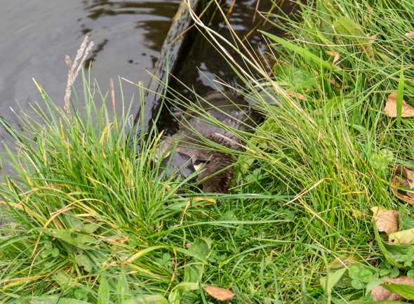 Platypus at the Salmon Poinds at Plenty, Tasmania.  There are 3 that I know of there, and they are totally unafraid.  Our first viewing of this young one, we could have touched it, we were so close.